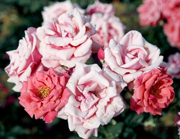 花美氣香月季花