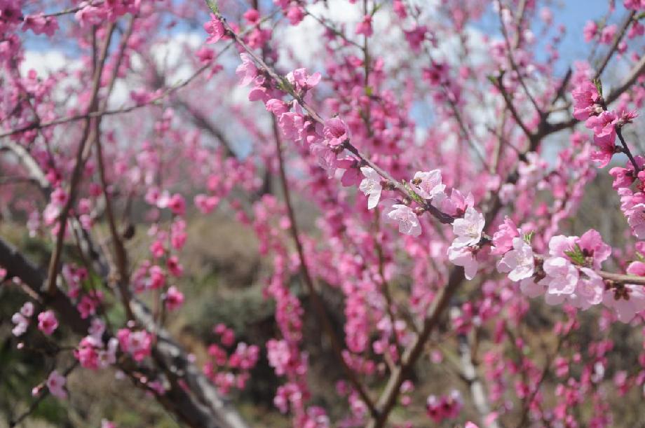 昔陽·蓮花山第四屆桃花節開幕
