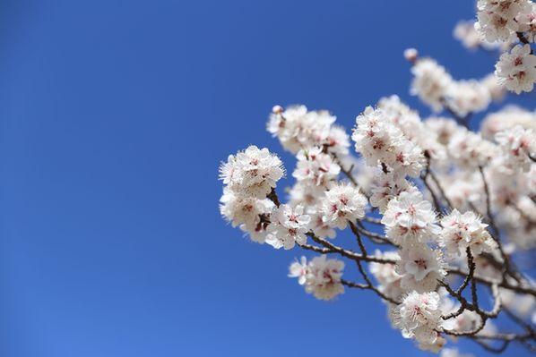 新華網VR視角帶你體驗山西陽高古長城下的杏花節