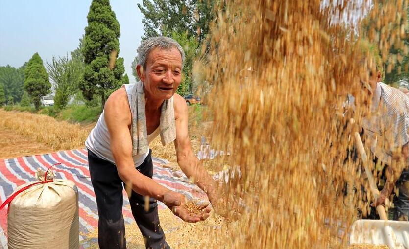 山西洪洞:示范田小麥豐收