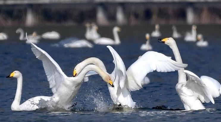 黃河濕地迎來越冬大天鵝