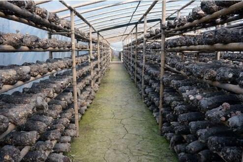 【新春走基層】香菇種植帶來好生活
