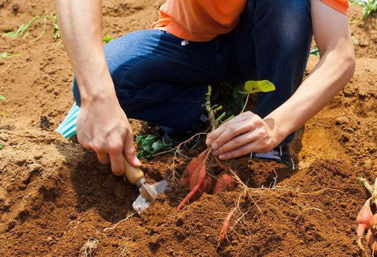 红薯插秧节助力乡村振兴