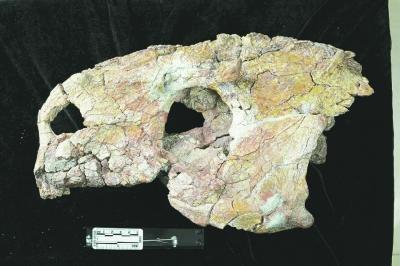 恐龙家族发现新属种——晋地甲龙