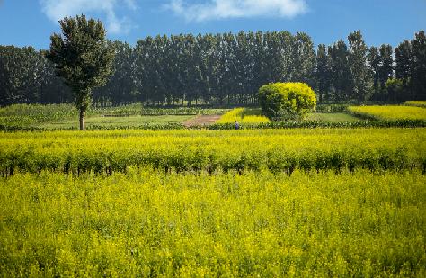 太原市晉源區600畝油菜花開了