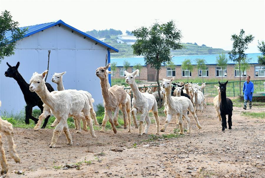 羊驼助力太行山农民脱贫增收