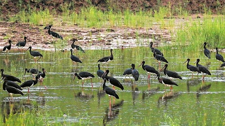 两百黑鹳水中栖息
