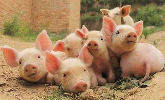 山西省農業廳:養殖場(戶)不得使用泔水飼喂生豬