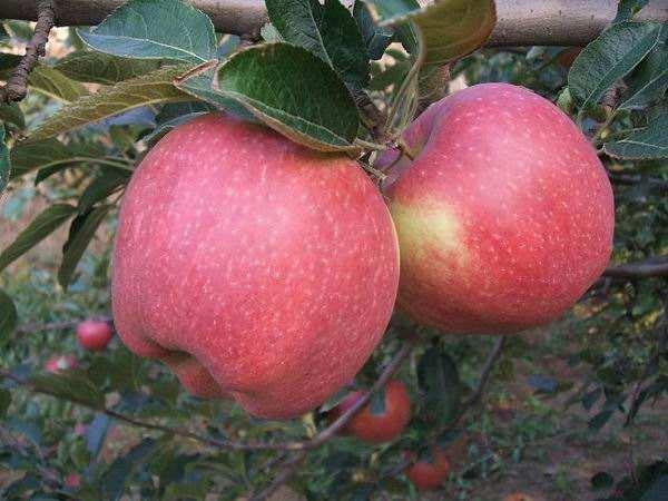山西运城苹果供给侧结构性改革新观察