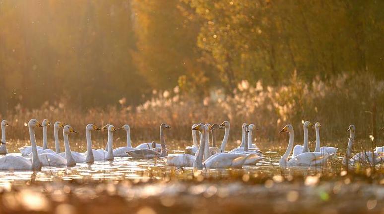 越冬大天鵝飛臨山西平陸黃河濕地