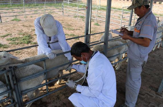 左雲縣養羊呈規模化趨勢 擁有千只以上羊場128個