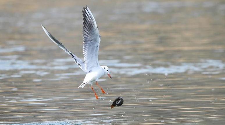 山西太原:鳥戲汾河