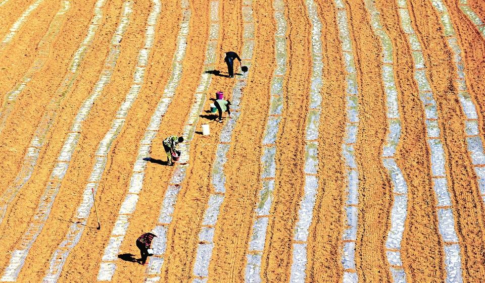 農民點種晚熟西瓜