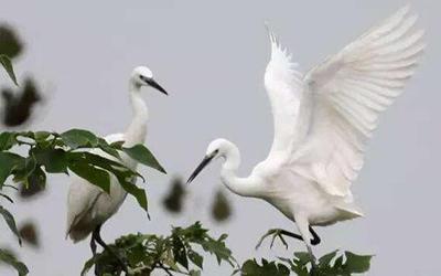 上千只白鷺聚集山西平陸黃河濕地