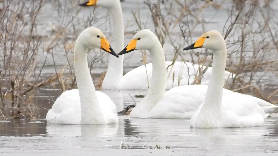 白天鵝與桑幹河的春日之約