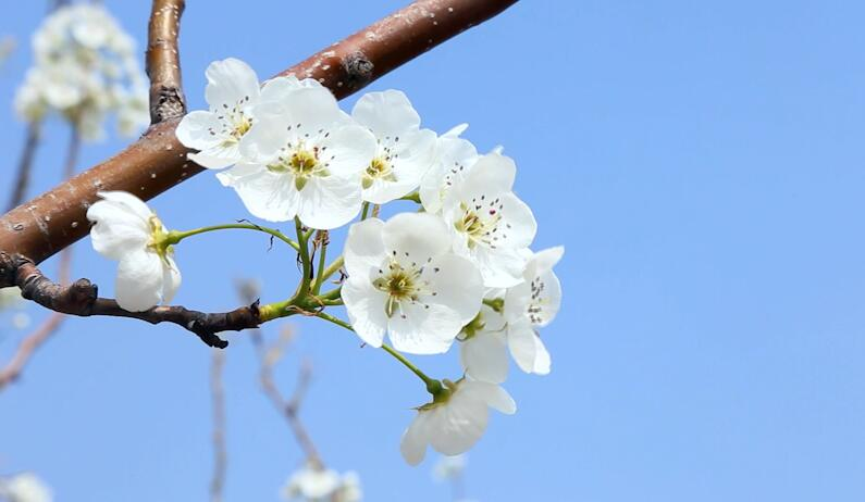 春風來,梨花開