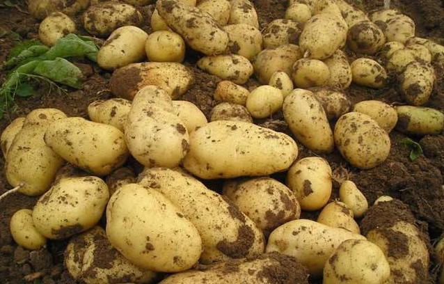 郝旭代表:加強馬鈴薯良種繁育和科研創新