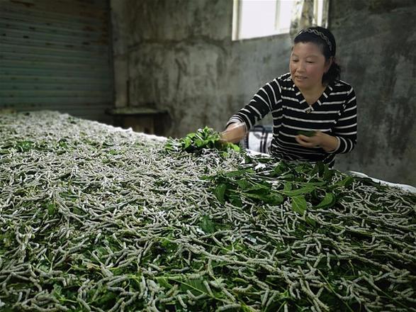桑蠶養殖助力太行山區農戶增收
