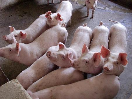 太原多措並舉穩定恢復生豬生産