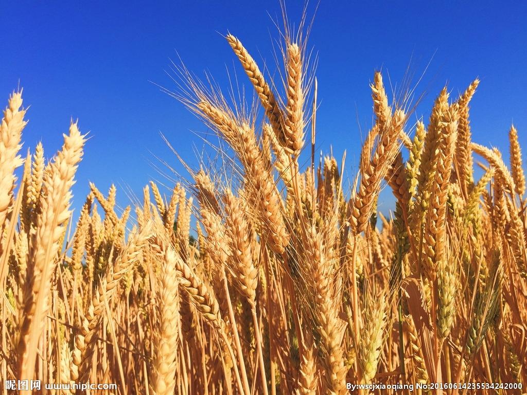 734.1公斤!芮城刷新山西水地小麥畝産紀錄