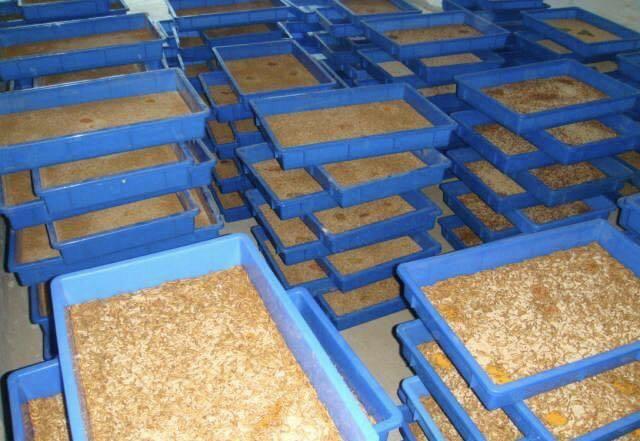 大同市黃粉蟲養殖加工漸成規模