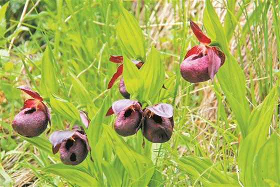 晉中靈石發現珍稀蘭科植物褐花杓蘭