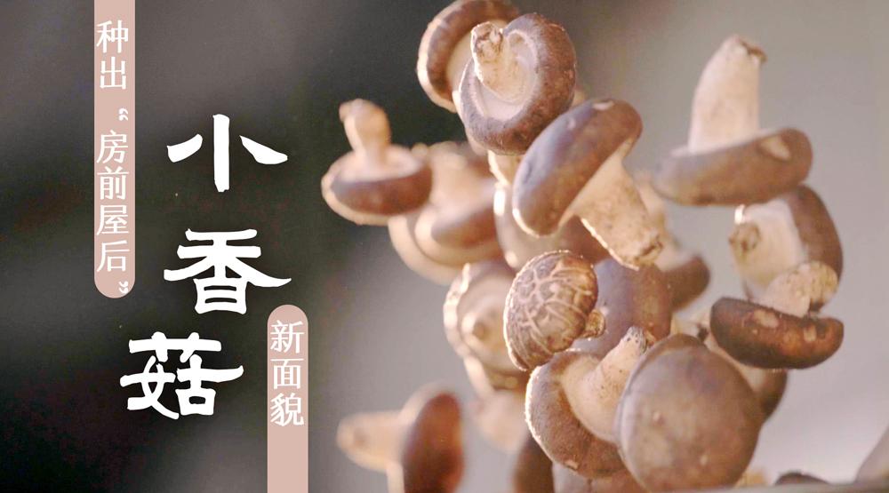 """小香菇,種出""""房前屋後""""新面貌"""