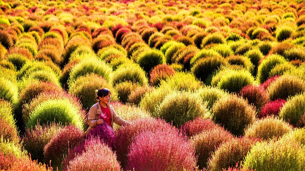 掃帚草,原來這麼美