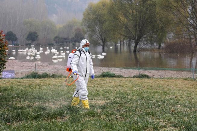 平陸處置一起野生天鵝禽流感疫情 尚未發現人及家禽感染