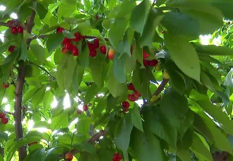 柳林縣發展特色種植助農增收