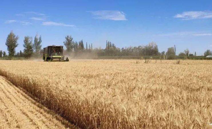 山西夏糧喜獲豐收 畝産首次突破300公斤